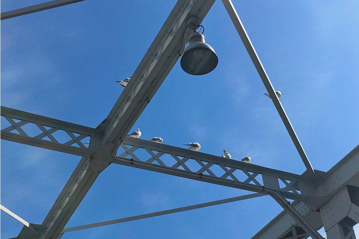 汽車道の鉄橋に泊まる海鳥たち