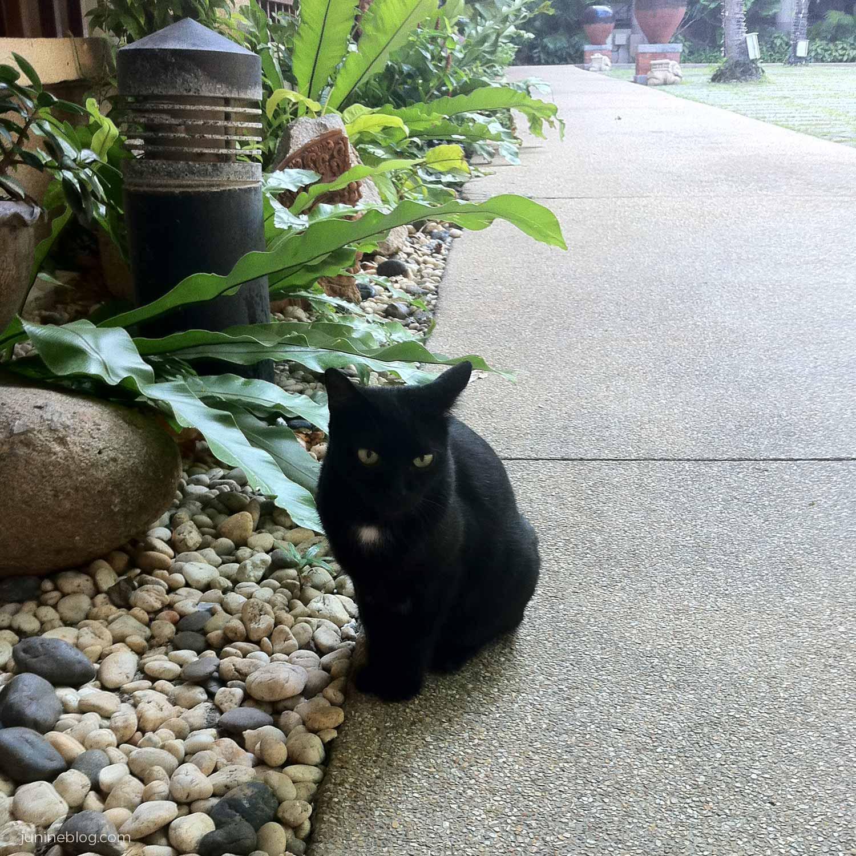 パトンビーチホテルの黒猫